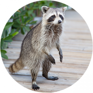 Main Raccoon photo